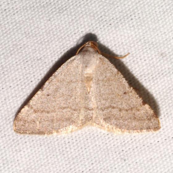 Hodges#6425 - Taeniogramma