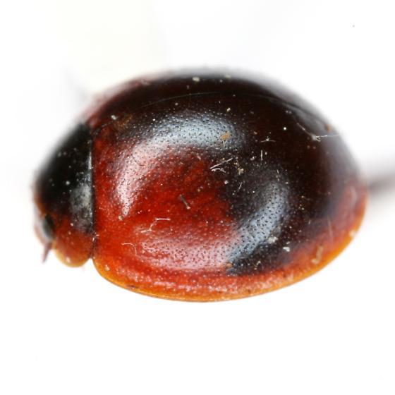 Arawana scapularis (Gorham) - Arawana scapularis