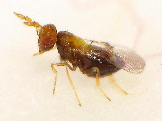 lateral - Burksiella