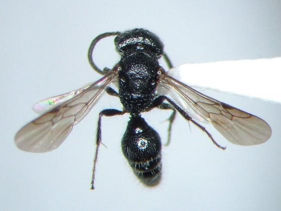 Wasp - Pseudomethoca torrida - male