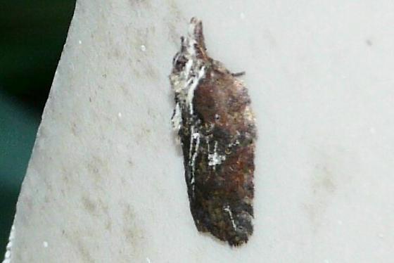 Masked Leafroller Moth - Acleris flavivittana