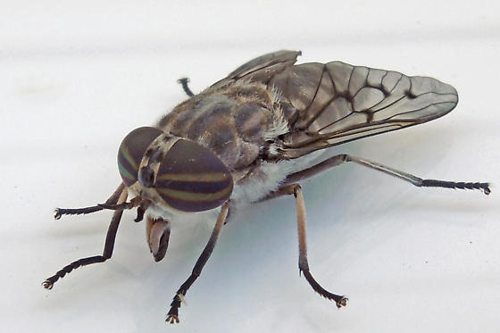 horse fly - female