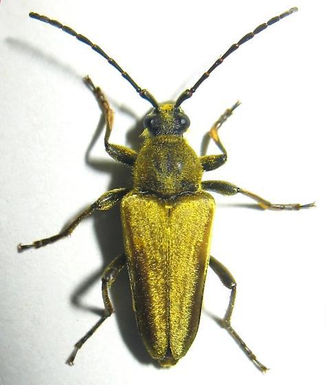 Yellow-velvet Long-horned Beetle - Lepturobosca chrysocoma