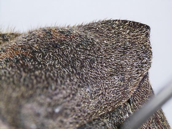 Leptoglossus concolor (Walker)? - Leptoglossus concolor - female
