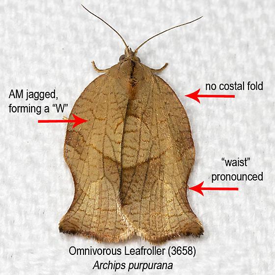 Identification Key - Omnivorous Leafroller Moth (3658) - Archips purpurana
