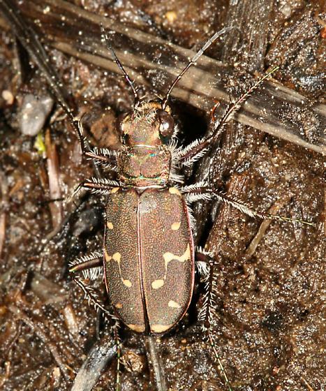 Tiger Beetle - Cicindela duodecimguttata