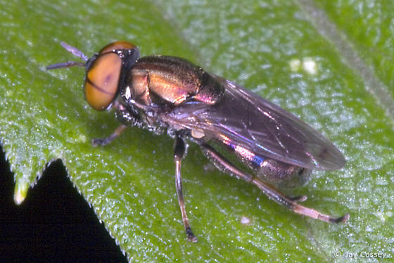 Metallic Fly - Orthonevra - male