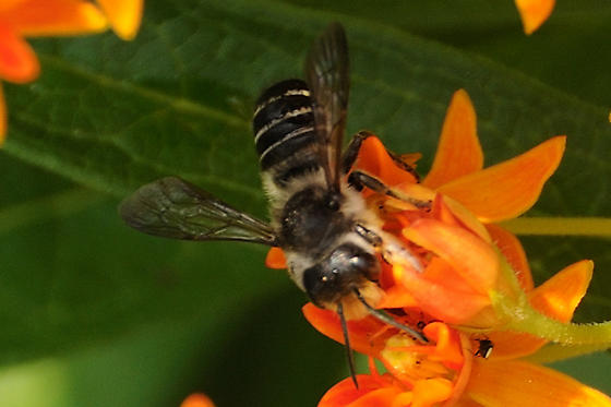 Megachile? - Megachile pugnata - male