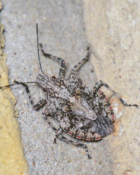 Stink bug - Brochymena arborea
