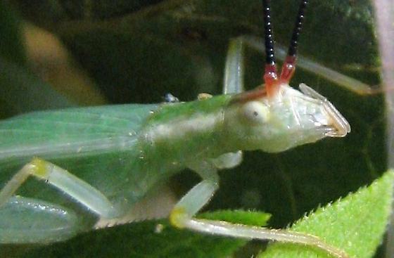 Female Different-horned tree cricket - Oecanthus varicornis - female