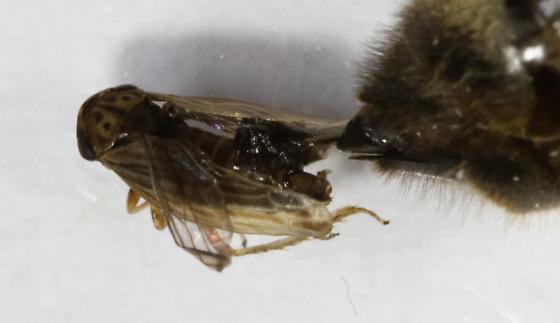 Bee with parasitoid