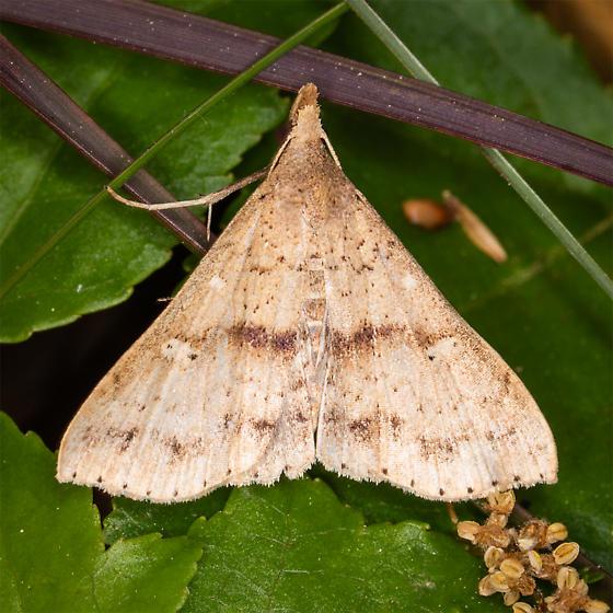 Delta wing - Renia salusalis - male