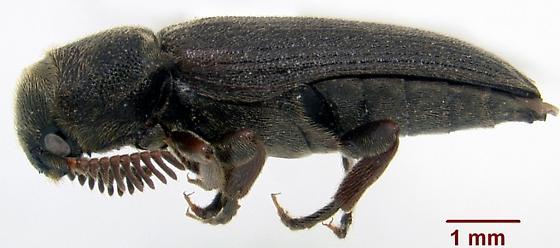 Melasis pectinicornis