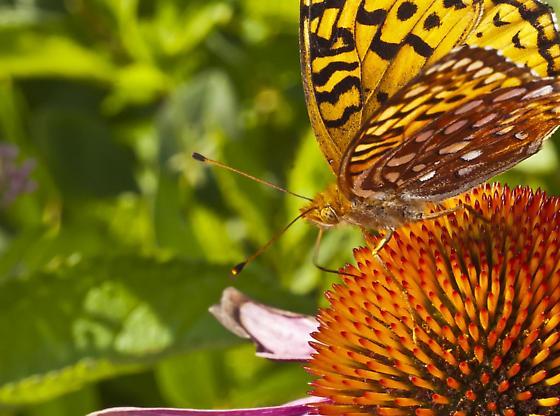 Checkerspot Butterfly - Speyeria aphrodite