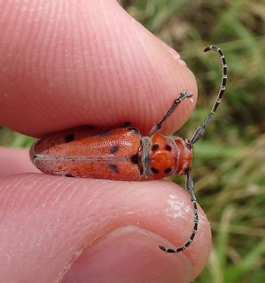 Tetraopes, but which one? - Tetraopes femoratus