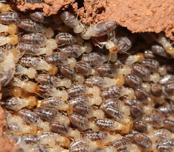 Termites under mud on Cactus trunk - Gnathamitermes - female