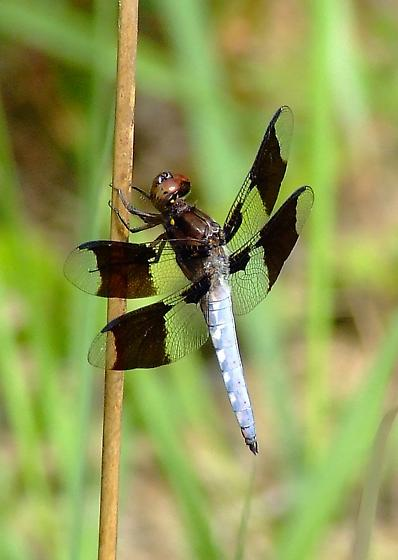 Common Whitetail (Plathemis lydia) - Plathemis lydia - male