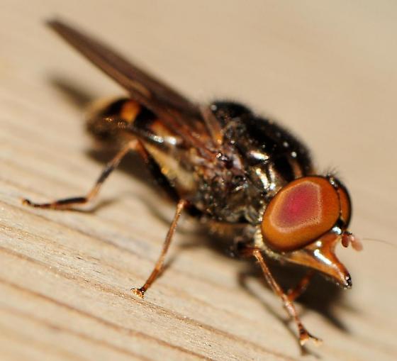 Syrphid Flies Rhingia nasica  - Rhingia nasica - male
