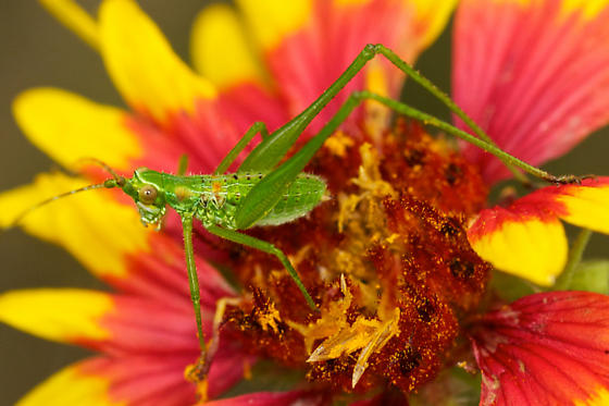 some kind of small katydid? - Scudderia