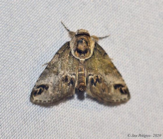 Unknown Moth - Baileya