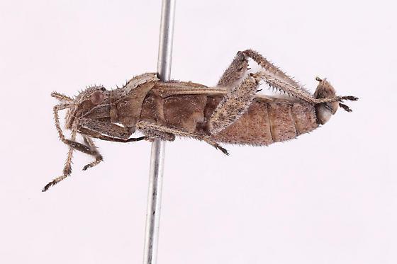 Hemiptera - Stachyocnemus apicalis