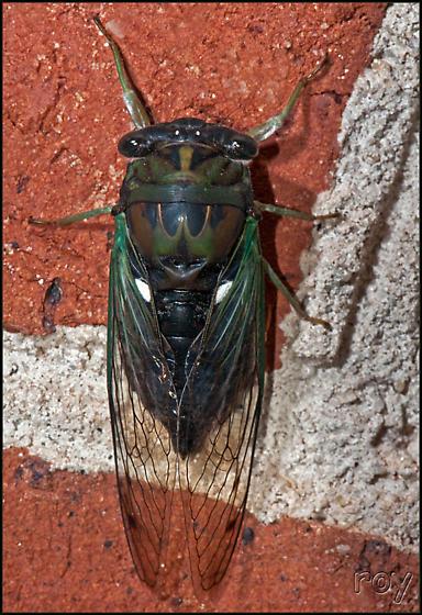 Southern Swamp Cicada - Neotibicen tibicen