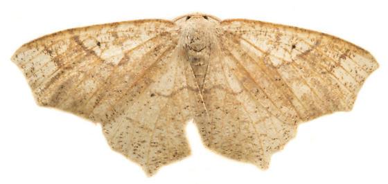 Oak Besma Moth - Besma quercivoraria