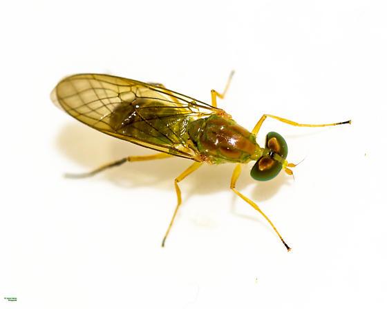 Ptecticus trivittatus? - Ptecticus trivittatus