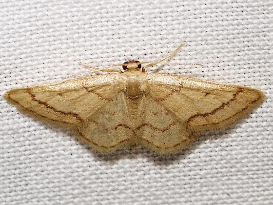 Idaea kendallaria - female