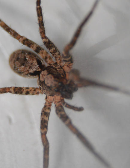 possible wolf spider - Gladicosa