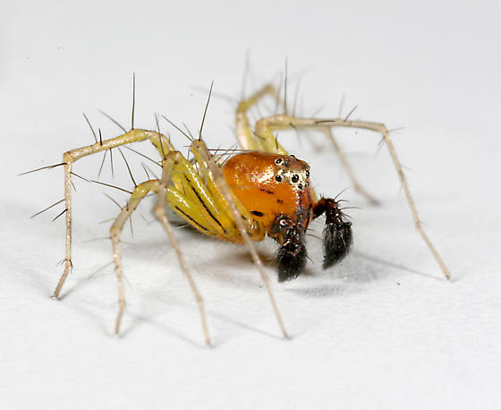 small spider - Oxyopes salticus - male