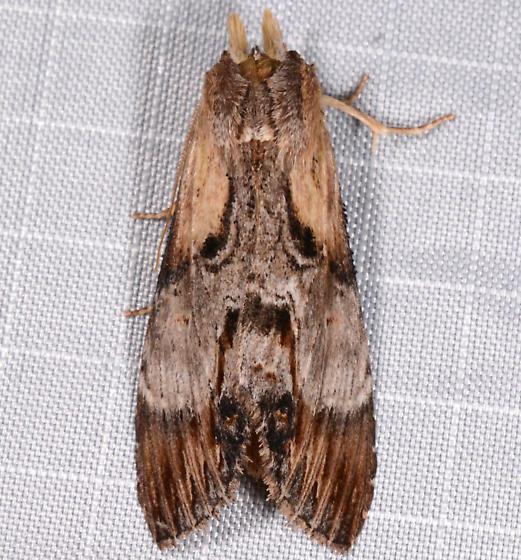 Dasylophia thyatiroides