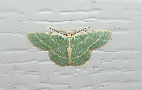 A green Moth - Chlorochlamys chloroleucaria - male