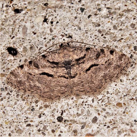 Moth - Digrammia gnophosaria