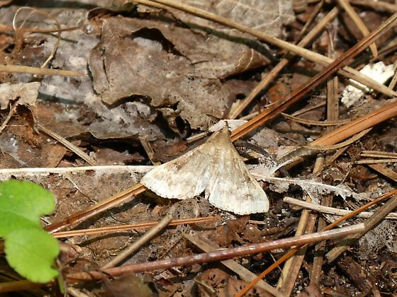 Is this a snout type moth? - Renia factiosalis - male