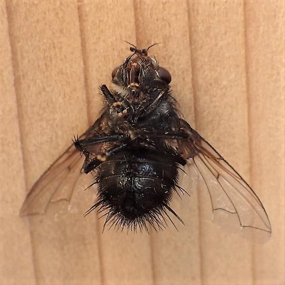 Tachinidae: Leschenaultia - Leschenaultia