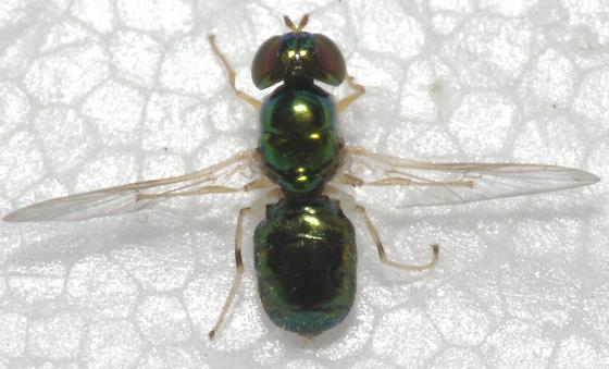 Fly - Microchrysa flavicornis - female