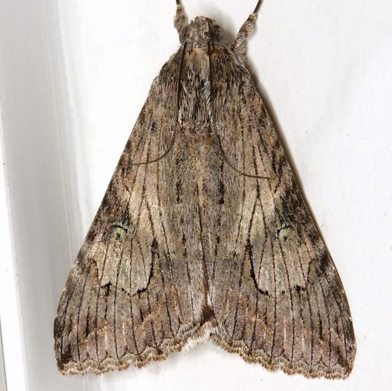 Melipotis jucunda Hübner - Melipotis jucunda