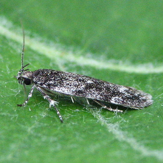 Unidentified micro moth - Gelechia lynceella
