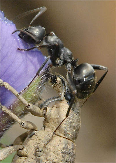 Two silty looking beetles and an assertive black ant - Epicaerus - male - female