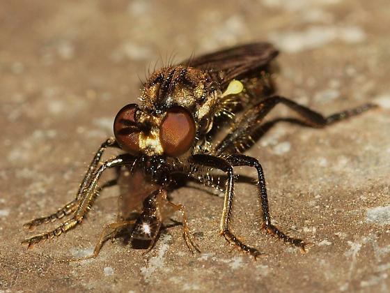 Robberfly? with Prey - Eudioctria media