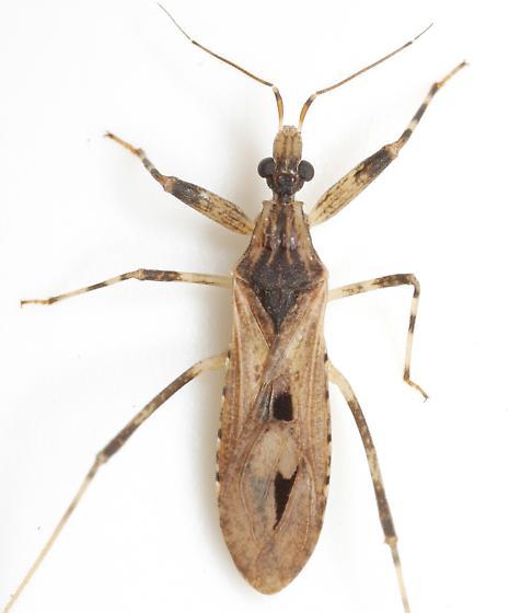 Oncocephalus geniculatus (Stål) - Oncocephalus geniculatus