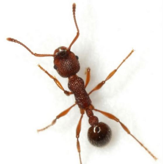 Myrmica americana Weber - Myrmica americana - female