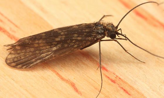 Fingernet Caddisfly - Dolophilodes distinctus