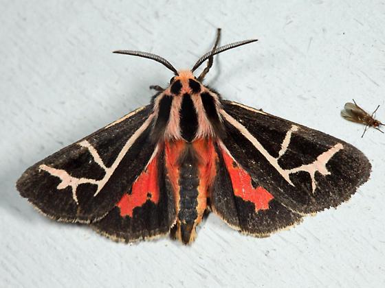 Figured Tiger Moth - Grammia figurata