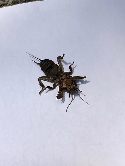 Unknown Monster - Gryllotalpa gryllotalpa