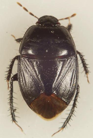 Unknown Cydnidae - Pangaeus bilineatus