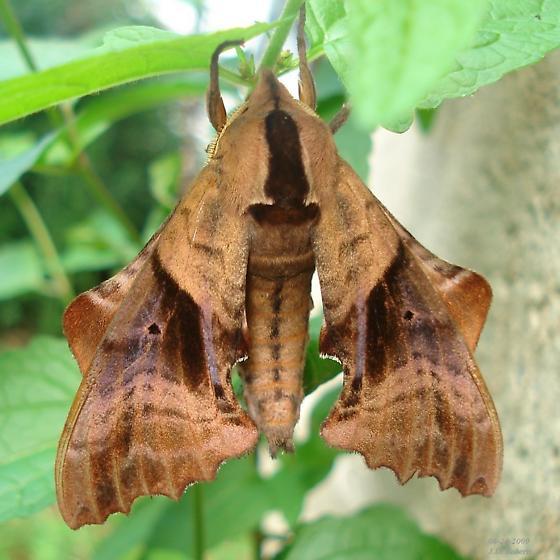Paonias excaecatus - Paonias excaecata
