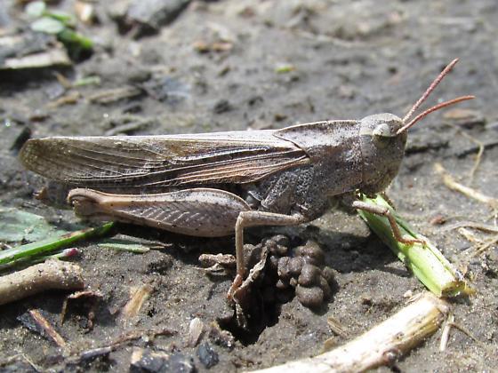 Chortophaga viridifasciata - female