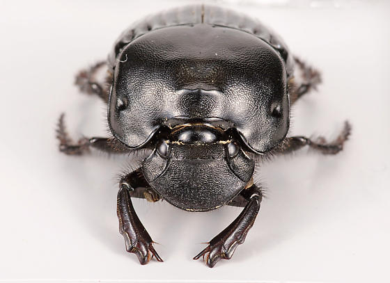 Dung Beetle - Phanaeus triangularis
